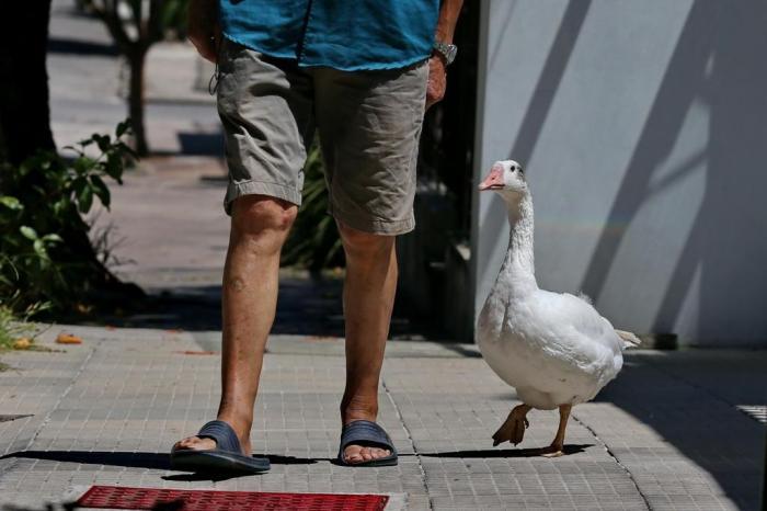 Martins e a gansa Juju em uma das caminhadas pelas ruas de Santa Maria Lauro Alves / Agencia RBS