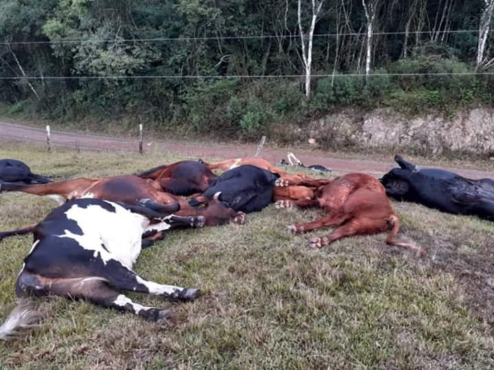 Bovinos morrem eletrocutados no interior de Antônio Prado