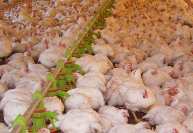 Descarte de 100 mil aves da BRF em Lajeado (RS) acontece nesta segunda
