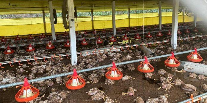 Chuva torrencial provoca morte de 35 mil frangos em aviários de Nova Prata